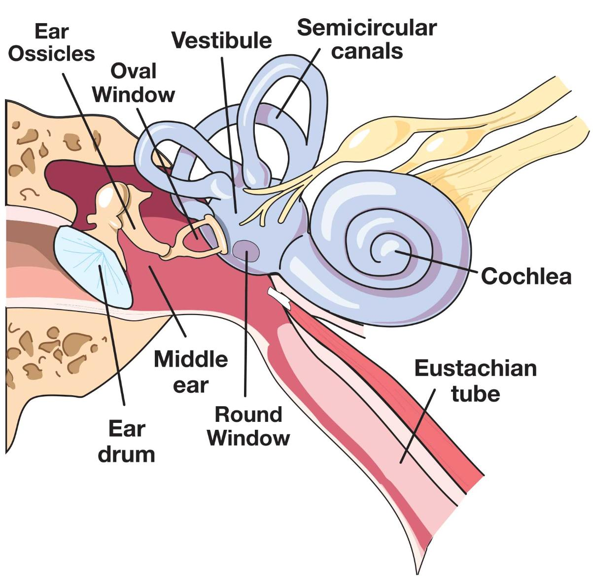 Middle Ear Diagram Windows - Schematics Wiring Diagrams •