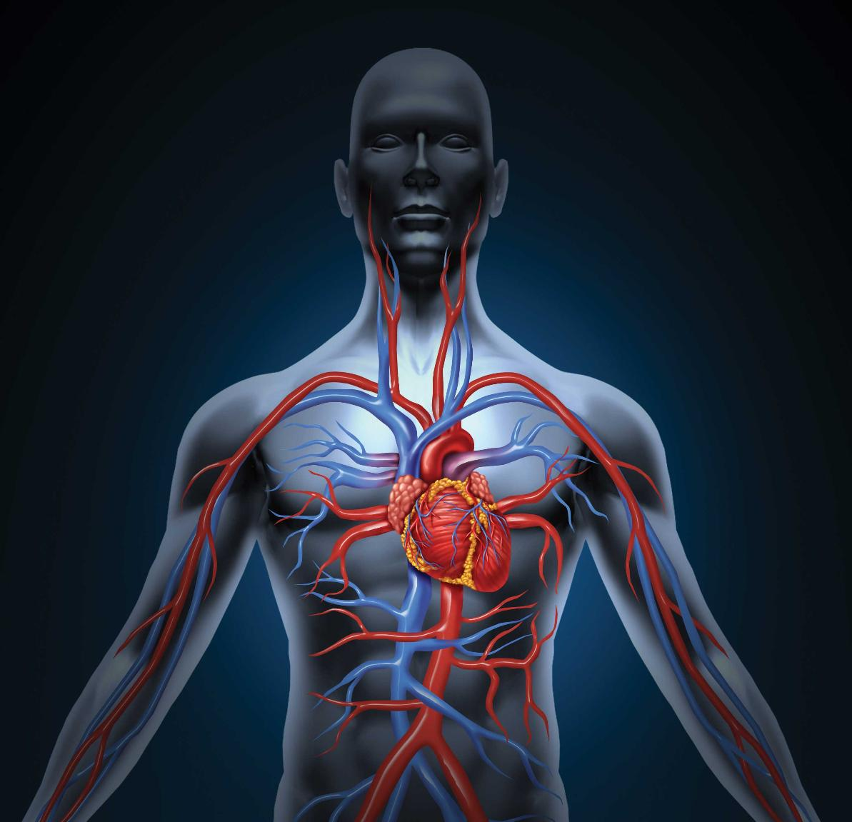How Diving Affects Your Health And Circulatory System The Heart