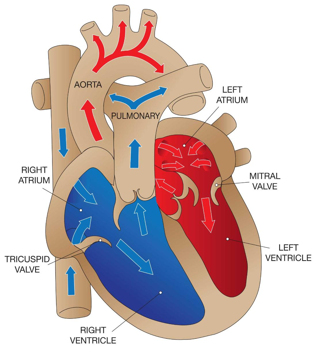 Overview of Valvular Disorders | The Heart & Diving - DAN Health ...